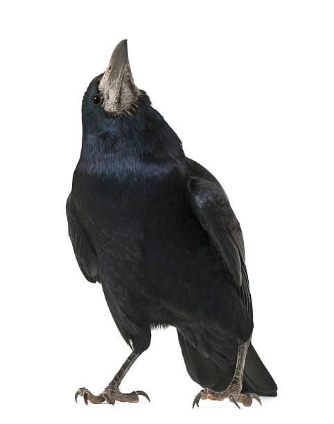 turm, corvus frugilegus, 3 jahre alt, steht vor weißer hintergrund - saatkrähe stock-fotos und bilder
