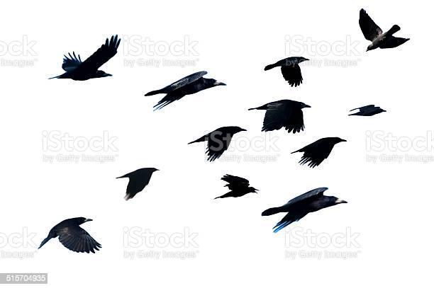 Rook corvus frugilegus flying picture id515704935?b=1&k=6&m=515704935&s=612x612&h=hezpbtgz6s64mbq4ofkbs99frzvsu 6alsguimcajfi=