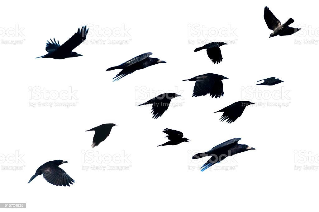Rook, Corvus frugilegus, flying. stock photo