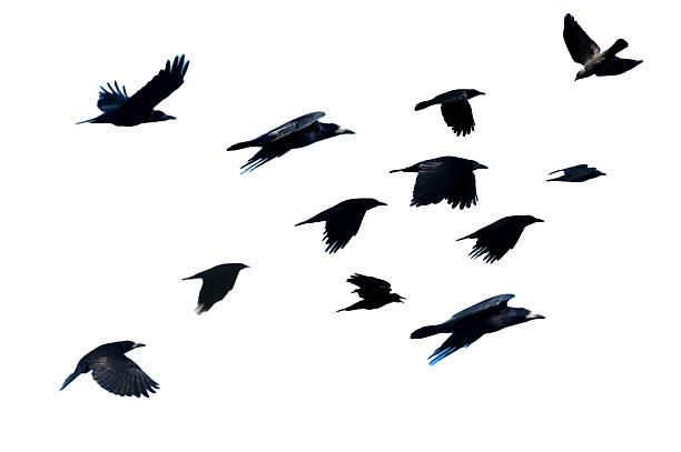 rook, corvus frugilegus, fliegen. - saatkrähe stock-fotos und bilder