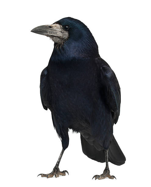 rook, corvus frugilegus - saatkrähe stock-fotos und bilder