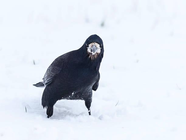 rook, corvus frugilegus, stehend im schnee, blick in die kamera, schottland - saatkrähe stock-fotos und bilder