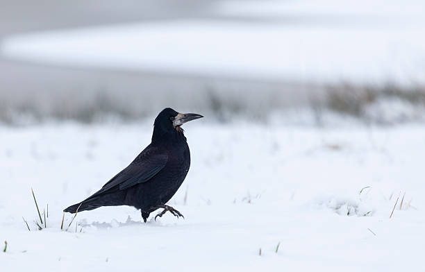 rook, corvus frugilegus, zu fuß auf schnee, schottland - saatkrähe stock-fotos und bilder