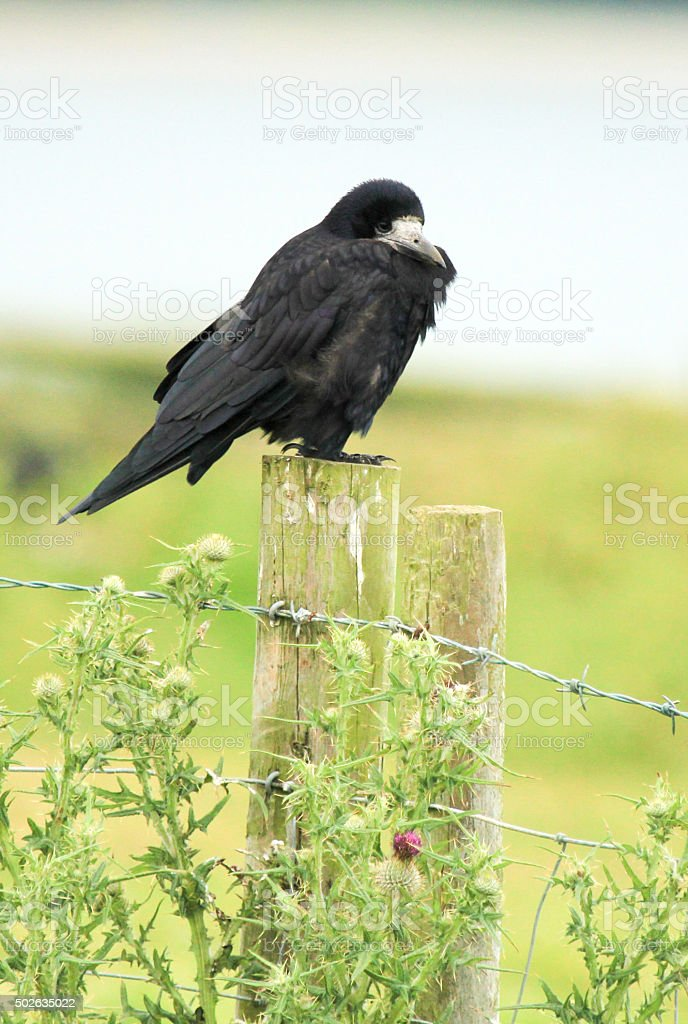 Rook in Carmarthenshire, Wales stock photo
