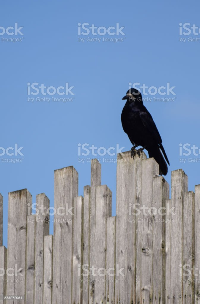 Rook on a fence stock photo