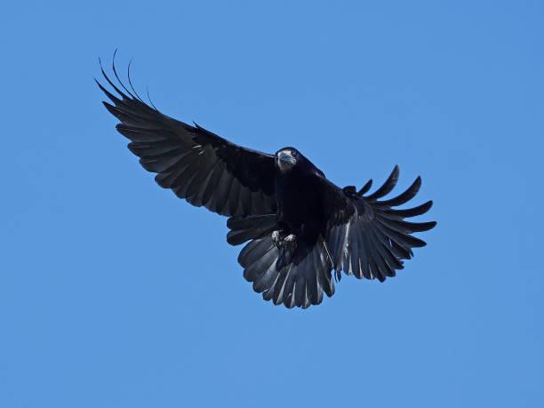 rook (corvus frugilegus) - saatkrähe stock-fotos und bilder