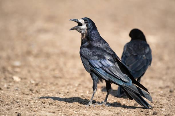 turm (corvus frugilegus) steht auf dem boden mit einer offenen schnabel - saatkrähe stock-fotos und bilder
