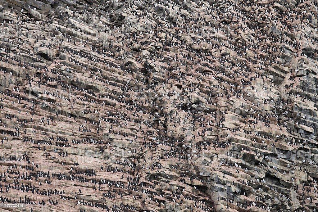 Rookery on basalt rocks stock photo