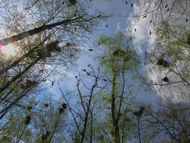 krähen fliegen über die nester - saatkrähe stock-fotos und bilder