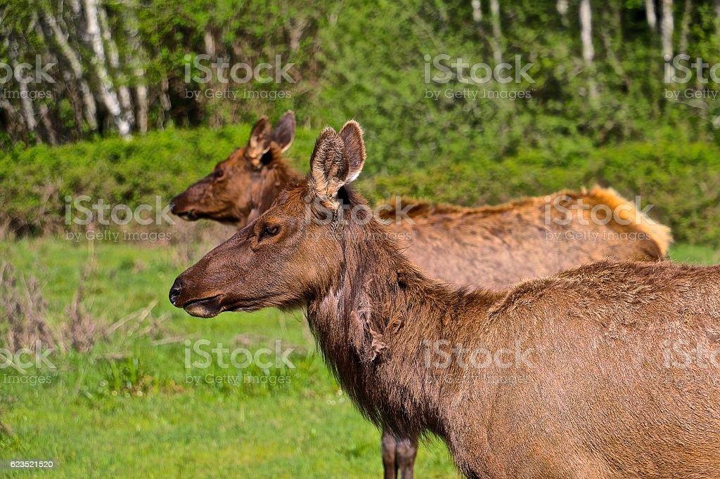 Roosevelt Elk stock photo