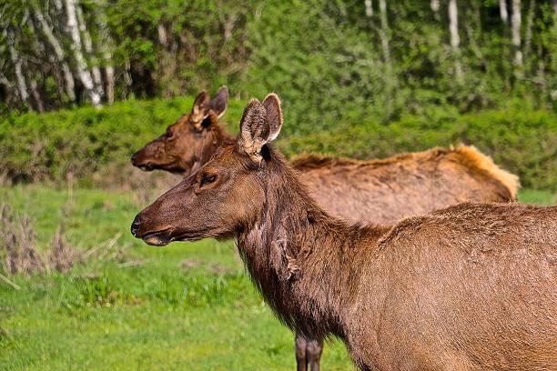roosevelt elk - aleks66 stock pictures, royalty-free photos & images