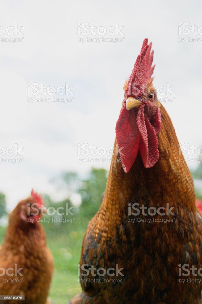 rooster and chicken zbiór zdjęć royalty-free
