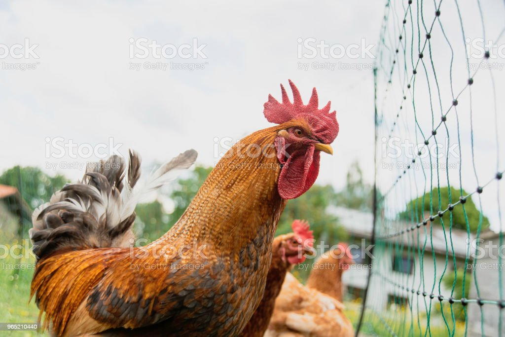 rooster and chicken standing on a fence zbiór zdjęć royalty-free
