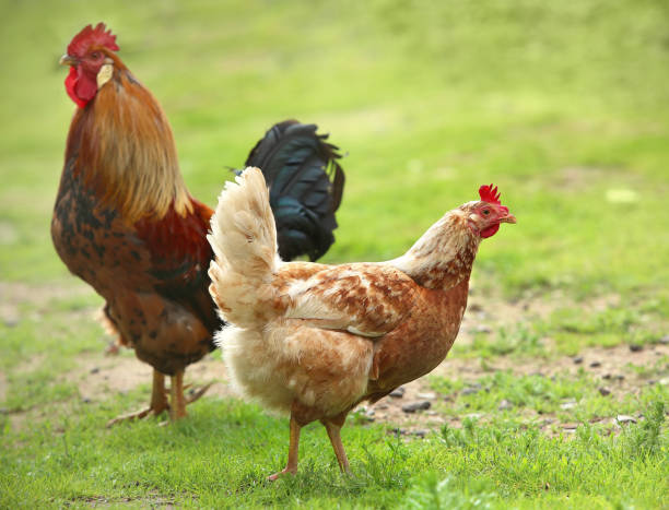 Rooster and Chickens. Free Range Cock and Hens stock photo