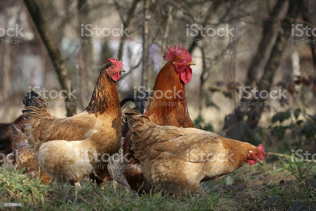 Rooster and fowls royalty-free stock photo