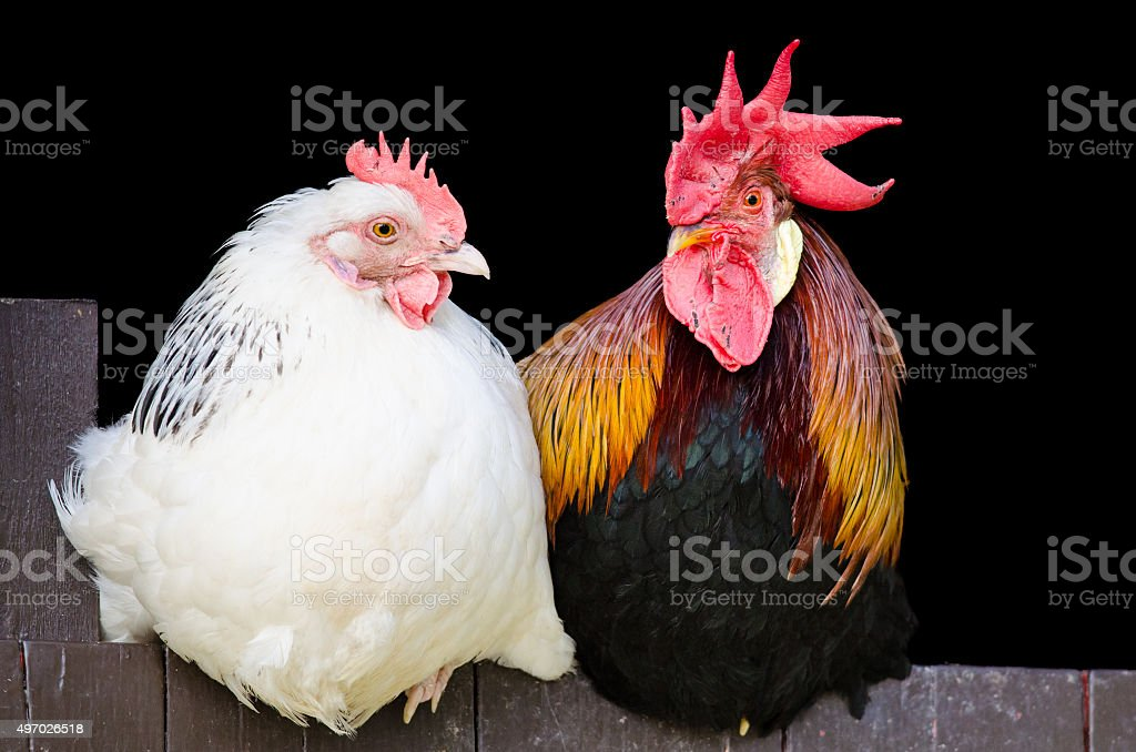 Rooster and hen couple stock photo