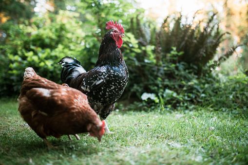 A colorful rooster and hen forage outside.  Free range chicken life.