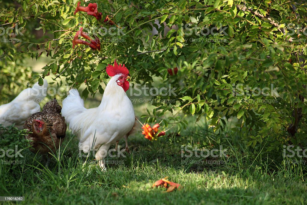 Rooster And Hen royalty-free stock photo