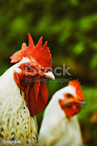 rooster and hen portrait outdoors