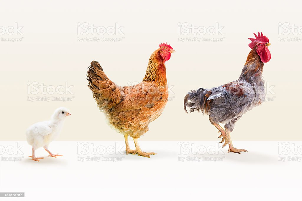 Rooster and hen standing with chick in studio stock photo