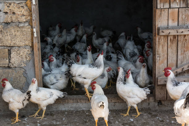 Rooster broilers in the hen house on the home farm stock photo