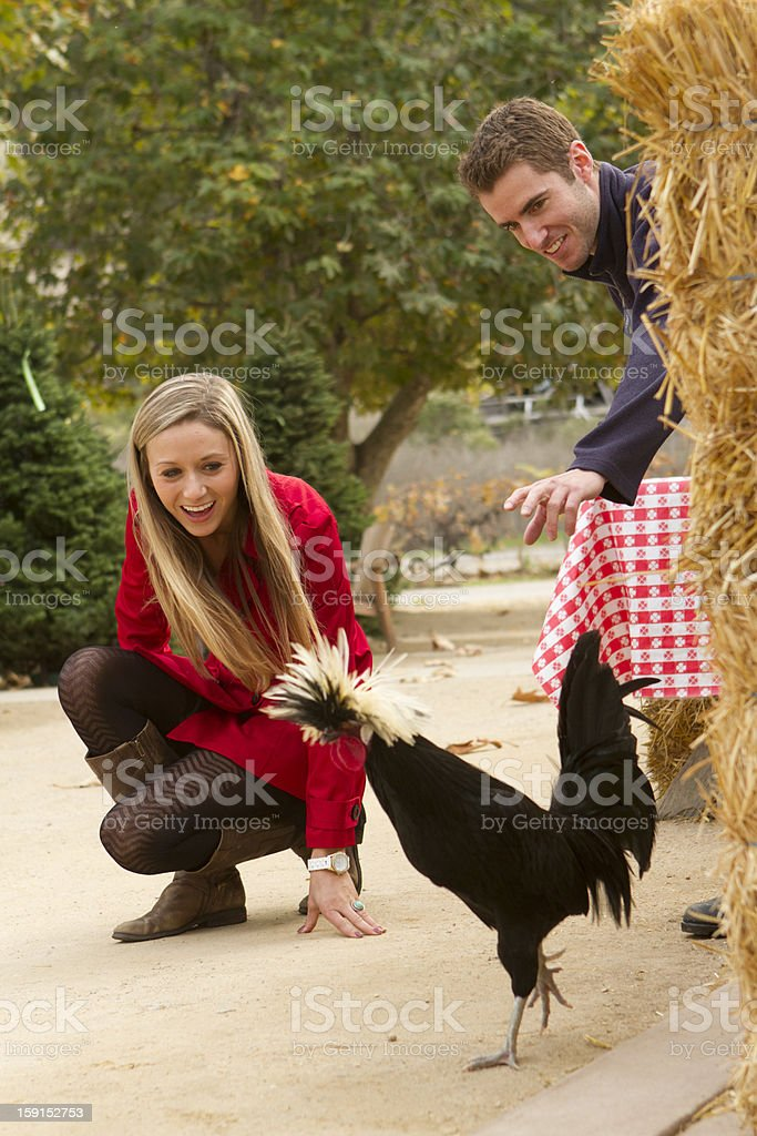 Rooster Chase royalty-free stock photo