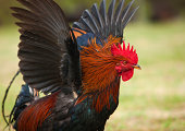 istock Rooster chicken famous on island of Kauai. 184975043