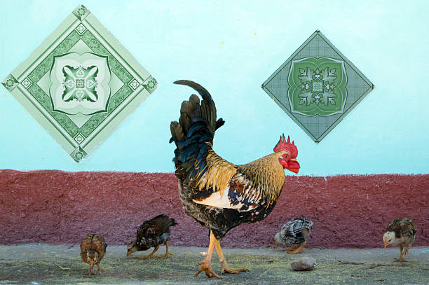 Rooster & Chicks stock photo
