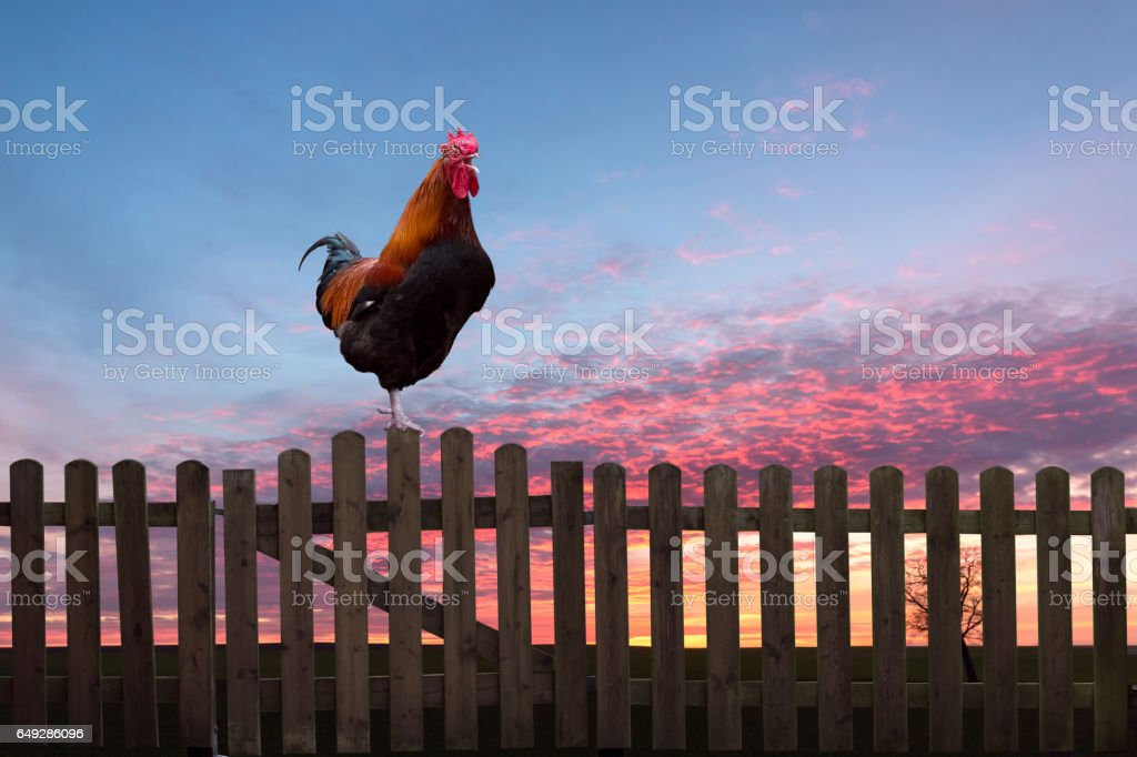 Rooster crowing on a wooden fence at sunrise. stock photo