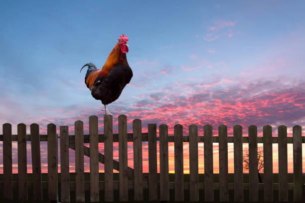 coq qui chante sur une clôture en bois au lever du soleil. - coq photos et images de collection