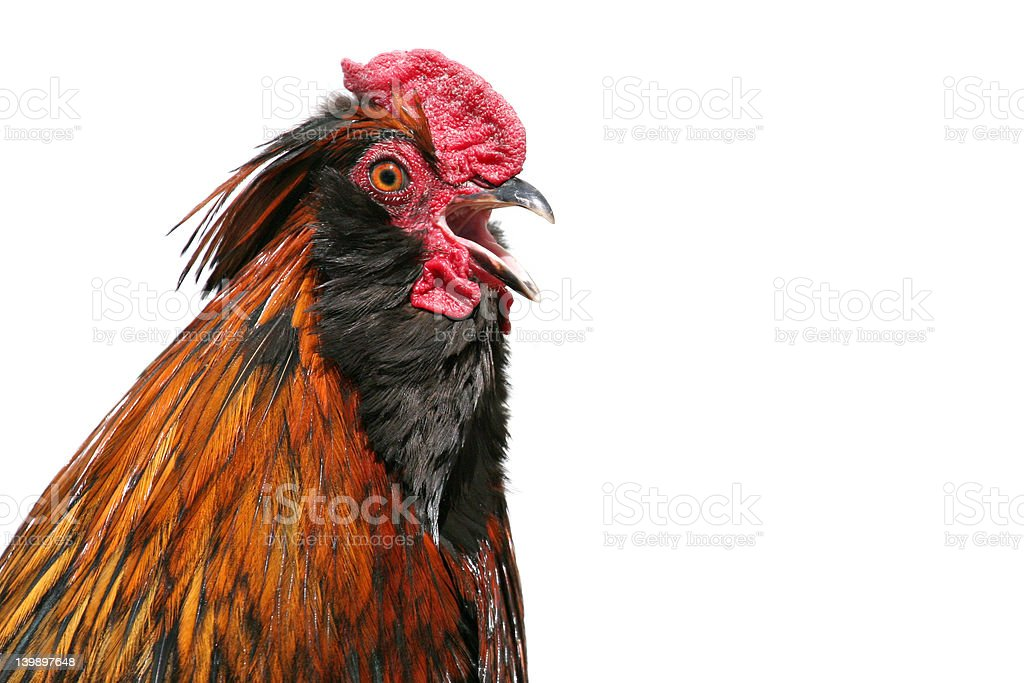 rooster crowing stock photo