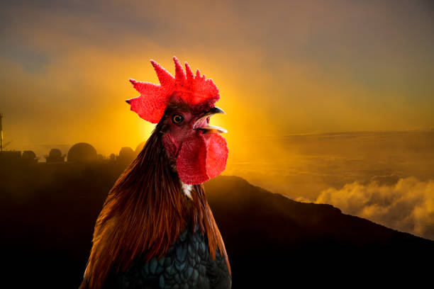 Rooster Crows at Break of Dawn stock photo