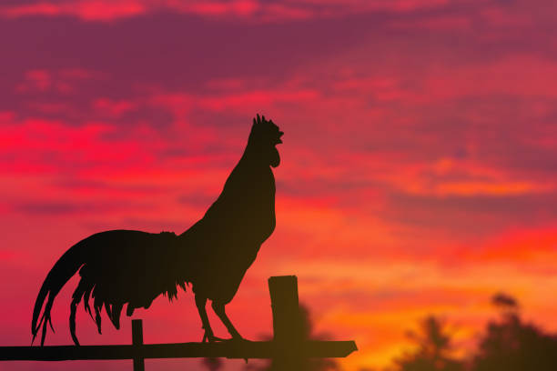 A Rooster crows in morning summer A Rooster crows in morning summer animal call stock pictures, royalty-free photos & images