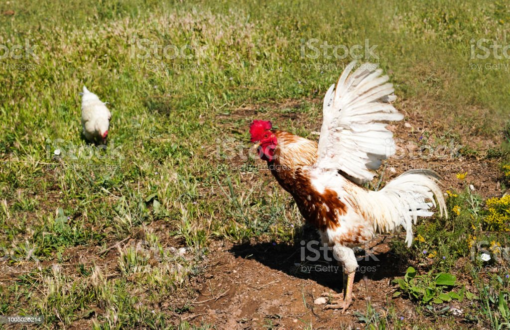 Rooster Flapping Its Wings In Green Grass And Hen Eating In