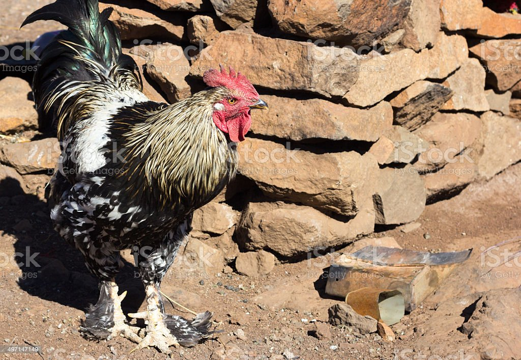 Rooster in Eastern Highlands, Lesotho royalty-free stock photo