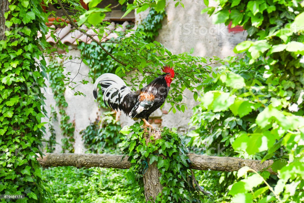 rooster  in the farmyard royalty-free stock photo
