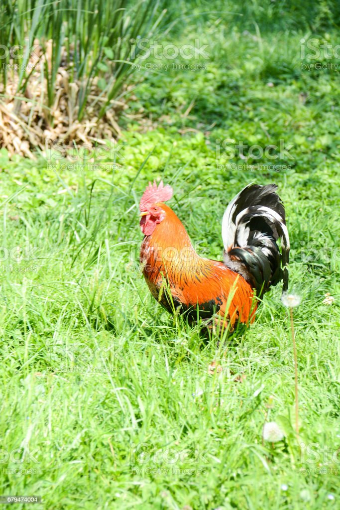 rooster  in the farmyard 免版稅 stock photo