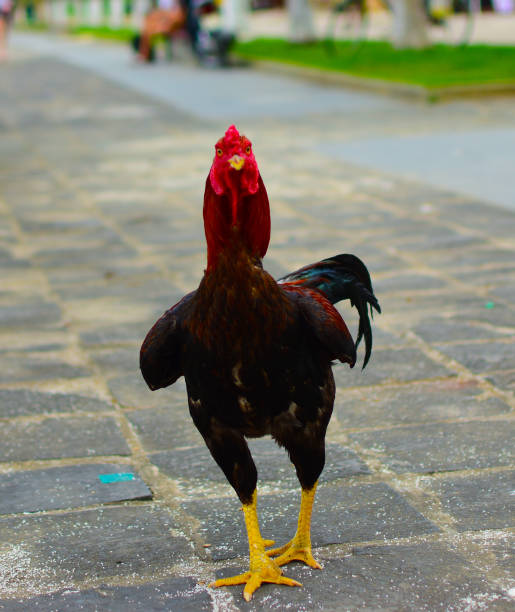 Rooster in Vietnam stock photo