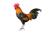 Rooster isolated on white background. Side view of colorful rooster or cock chicken standing isolated