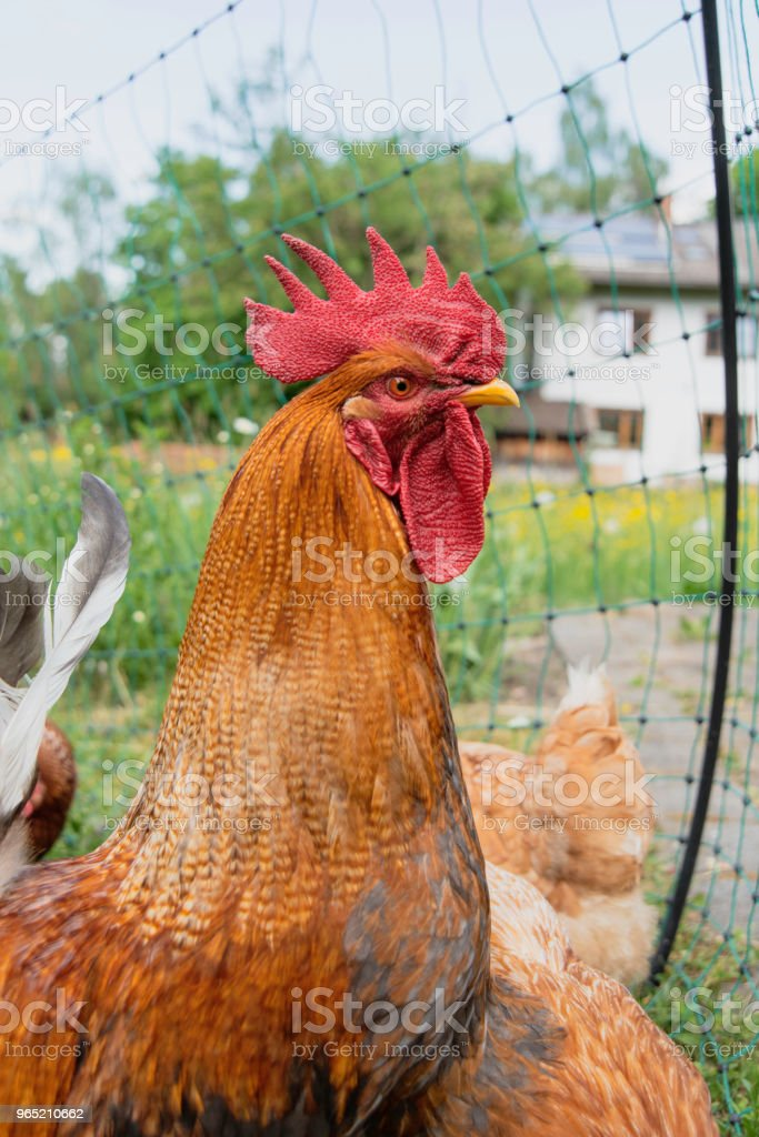 rooster on a fence royalty-free stock photo