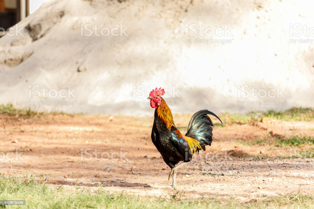 Rooster (Male Chicken) on a nature background stock photo