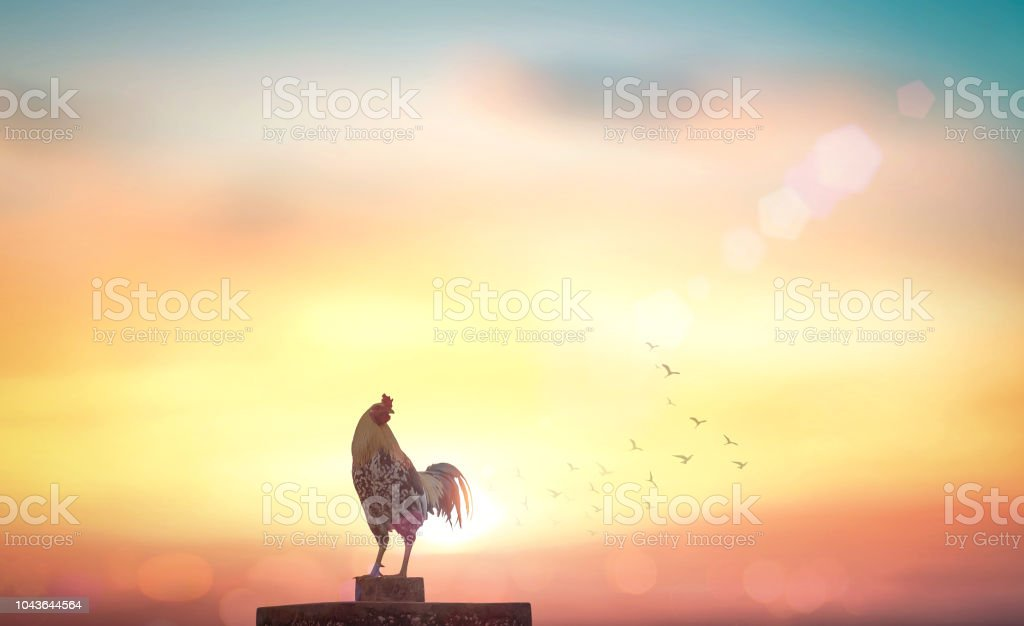 Rooster on autumn background Silhouette rooster on blurred beautiful sunrise sky with sun light in farm autumn background Agriculture Stock Photo