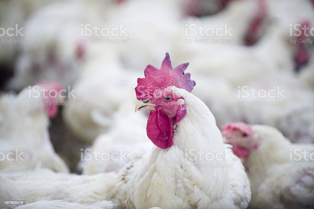 Rooster on the farm stock photo
