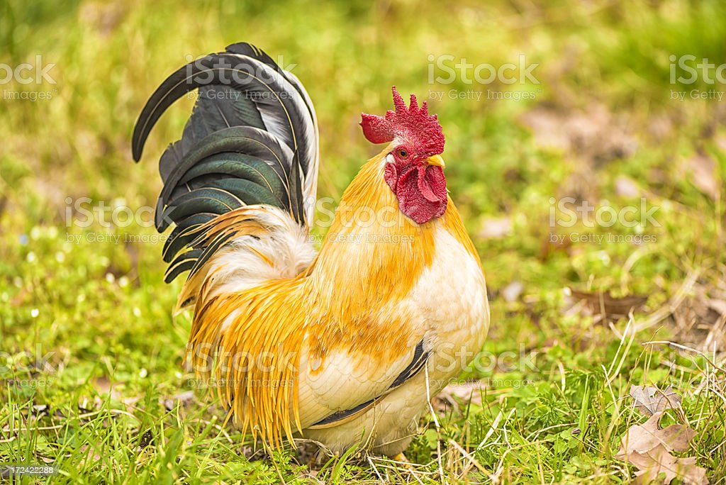 Rooster on the grass royalty-free stock photo