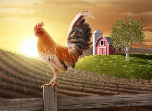 rooster walking around key west, florida