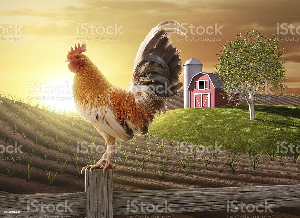 Rooster perched upon a farm fence post stock photo