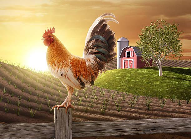 coq perché sur un poteau de clôture de la ferme - coq photos et images de collection