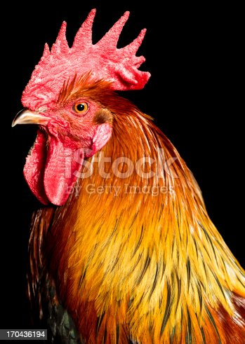 Colorful rooster on black background