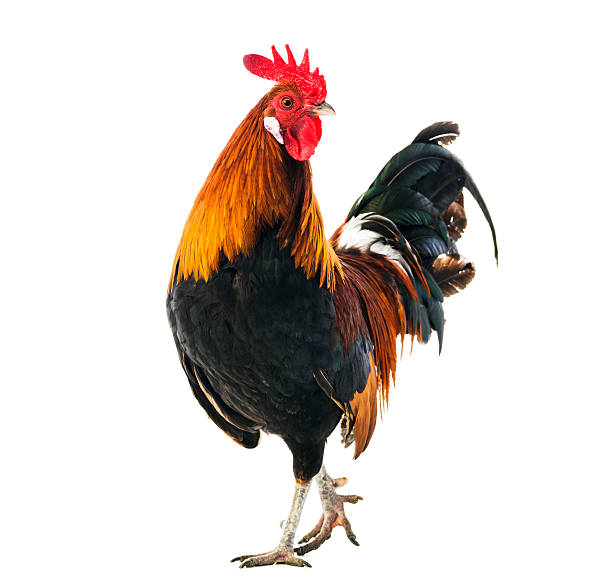 Rooster Rooster isolated on white rooster stock pictures, royalty-free photos & images