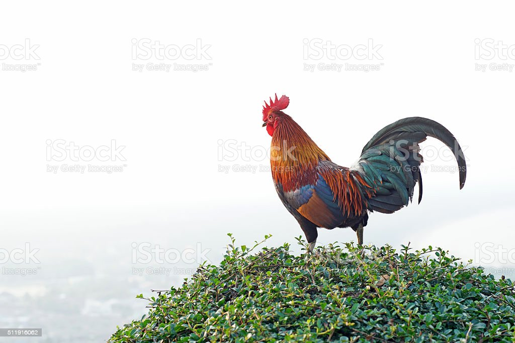 rooster stand on the bush plant stock photo